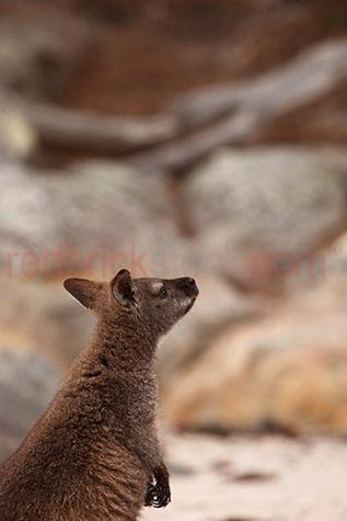 wallaby; wallabies; animal; animals; red necked wallaby; red necked wallabies; red-necked wallaby; red-necked wallabies; bennetts wallaby; bennetts wallabies; macropus rufogriseus; australian animal; australian animals; australian native animal; australian native animals; native animal; native animals; native; natives; native species; australian native species; fauna; australian fauna; australian native fauna; marsupial; marsupials; macropod; macropods; pademelon; pademelons; bush; bushland; bush land; australian bush; australian bushland; australian bush land; wild wallaby; wild wallabies; wild animal; wild animals; wild; in the wild; wallaby in the wild; wallabies in the wild; animal in the wild; animals in the wild; icon; icons; iconic; australian icon; australian icons; terrestrial; terrestrial animal; terrestrial animals; terrestrial mammal; terrestrial mammals; wallaby portrait; wallaby portraits; animal portrait; animal portraits; macropodidae; thylogale billardierii; wildlife; wild life; australian wildlife; australian wild life; australian native wildlife; australian native wild life; wildlife photography; wild life photography; nature; natural habitat; natural habitats; national park; national parks; protected area; protected areas; conservation; conservations; animal photography; looking up; brown; browns; colour brown; color brown; day; daytime; day time; during the day; in the daytime; in the day time; daylight; day light; tourist attraction; tourist attractions; australian tourist attraction; australian tourist attractions; tourism; tourism australia; australian tourism; australia; australian; aus; royalty free; rf; royalty free image; royalty free images; rf image; rf images; close-up; close-ups; close up; close ups; closeup; closeups; close-up view; close-up views; closeup view; closeup views; close-up views; close-up views; close up views; closeup views; copyspace; copy space; textspace; text space; at; on; in; and; &; +;