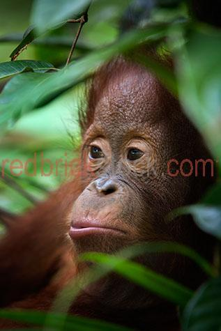 orangutan; orangutans; orang-utan; orang-utans; orang utan; orang utans; animal; animals; ape; apes; wild ape; wild apes; great ape; great apes; wild orangutan; wild orangutans; wild orang-utan; wild orang-utans; wild orang utan; wild orang utans; wild animal; wild animals; wild; in the wild; orangutan in the wild; orangutans in the wild; orang-utan in the wild; orang-utans in the wild; orang utan in the wild; orang utans in the wild; animal in the wild; animals in the wild; ape in the wild; apes in the wild; primate; primates; endangered animal; endangered animals; endangered species; threatened animal; threatened animals; threatened specials; adult; adults; adult orangutan; adult orangutans; adult orang-utan; adult orang-utans; adult orang utan; adult orang utans; climb; climbs; climbing; climber; climbers; tree climber; tree climbers; tree climb; tree climbs; tree climbing; tree; trees; rainforest; rainforests; rain forest; rain forests; forest; forests; jungle; jungles; orangutan in jungle; orangutans in jungle; animal in jungle; animals in jungle; jungle animal; jungle animals; mammal; mammals; orangutan portrait; orangutan portraits; orang-utan portrait; orang-utan portraits; orang utan portrait; orang utan portraits; animal portrait; animal portraits; pongo; pongo pygmaeus; ponginae; asia; asian; asian orangutan; asian orangutans; asian animal; asian animals; borneo; borneo orangutan; borneo orangutans; indonesia; indonesian; indonesian orangutan; indonesian orangutans; central kalimantan; kalimantan; nyaru menteng; nyaru menteng care centre; nyaru menteng orangutan rehabilitation and reintroduction centre; rehabilitation centre; rehabilitation centres; animal rehabilitation centre; animal rehabilitation centres; wildlife; wild life; asian wildlife; asian wild life; wildlife photography; wild life photography; nature; natural habitat; natural habitats;  national park; national parks; protected area; protected areas; conservation; conservations; animal shelter; animal shelters; shelter; shelters; animal rescue; animal rescues; rescue; rescues; animal welfare shelter; animal welfare shelters; welfare shelter; welfare shelters; animal refuge; animal refuges; refuge; refuges; tourist attraction; tourist attractions; borneo tourist attraction; borneo tourist attractions; asia tourist attraction; asia tourist attractions; asian tourist attraction; asian tourist attractions; tourist destination; tourist destinations; borneo tourist destination; borneo tourist destinations; asia tourist destination; asia tourist destinations; asian tourist destination; asian tourist destinations; tourism; travel; travels; traveling; overseas travel; over seas travel; overseas; over seas; rights managed; rm; rights managed image; rights managed images; rm image; rm images; close-up; close-ups; close up; close ups; closeup; closeups; close-up view; close-up views; closeup view; closeup views; close-up views; close-up views; close up views; closeup views; copyspace; copy space; textspace; text space; at; on; in; and; &; +;