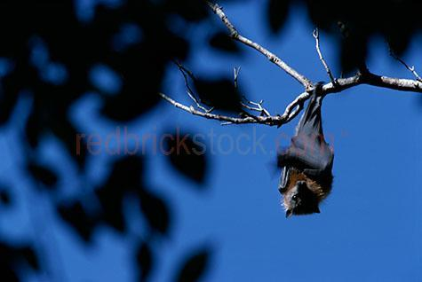 bat; bats; fruit bat; fruit bats; flying fox; flying foxes; animal; animals; australian animal; australian animals; australian native animal; australian native animals; native animal; native animals; native; natives; native species; australian native species; fauna; australian fauna; australian native fauna; nocturnal; nocturnal animal; nocturnal animals; hang; hangs; hanging; hanging from tree; hanging from a tree; hanging from trees; hanging in tree; hanging in a tree; hanging in trees; bat hanging from tree; bat hanging from a tree; bat hanging from trees; bat hanging in tree; bat hanging in a tree; bat hanging in trees; bats hanging from tree; bats hanging from a tree; bats hanging from trees; bats hanging in tree; bats hanging in a tree; bats hanging in trees; fruit bat hanging from tree; fruit bat hanging from a tree; fruit bat hanging from trees; fruit bat hanging in tree; fruit bat hanging in a tree; fruit bat hanging in trees; fruit bats hanging from tree; fruit bats hanging from a tree; fruit bats hanging from trees; fruit bats hanging in tree; fruit bats hanging in a tree; fruit bats hanging in trees; flying fox hanging from tree; flying fox hanging from a tree; flying fox hanging from trees; flying fox hanging in tree; flying fox hanging in a tree; flying fox hanging in trees; flying foxes hanging from tree; flying foxes hanging from a tree; flying foxes hanging from trees; flying foxes hanging in tree; flying foxes hanging in a tree; flying foxes hanging in trees; tree; trees; in tree; in trees; bat in tree; bat in trees; bats in trees; fruit bat in tree; fruit bat in trees; fruit bats in trees; flying fox in tree; flying fox in trees; flying foxes in trees; wild bat; wild bats; wild fruit bat; wild fruit bats; wild flying fox; wild flying foxes; wild animal; wild animals; wild; in the wild; bat in the wild; bats in the wild; fruit bat in the wild; fruit bats in the wild; flying fox in the wild; flying foxes in the wild; animal in the wild; animals in the wild; wing; wings; bat wing; bat wings; fruit bat wing; fruit bat wings; flying fox wing; flying fox wings; bat portrait; bat portraits; fruit bat portrait; fruit bat portraits; flying fox portrait; flying fox portraits; mammal; mammals; australian mammal; australian mammals; wildlife; wild life; australian wildlife; australian wild life; australian native wildlife; australian native wild life; wildlife photography; wild life photography; nature; natural habitat; natural habitats; animal photography; sky; skies; day; daytime; day time; during the day; in the daytime; in the day time; daylight; day light; blue sky; blue skies; clear sky; clear skies; clear blue sky; clear blue skies; against blue sky; against clear blue sky; against clear sky; branch; branches; tree branch; tree branches; looking at camera; looking at the camera; leaf; leaves; tree leaf; tree leaves; low view; low views; low angle; low angles; from below; looking up; looking up at; indooroopilly; indooroopilly island; brisbane; queensland; qld; australia; australian; aus; blue; blues; colour blue; color blue; rights managed; rm; rights managed image; rights managed images; rm image; rm images; close-up; close-ups; close up; close ups; closeup; closeups; close-up view; close-up views; closeup view; closeup views; close-up views; close-up views; close up views; closeup views; copyspace; copy space; textspace; text space; at; on; in; and; &; +;