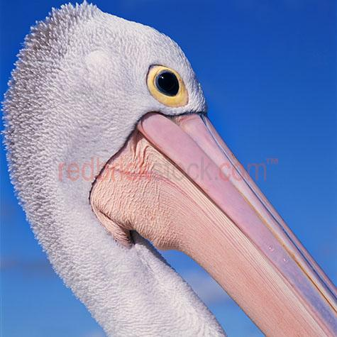 pelican; pelicans; bird; birds; animal; animals; australian bird; australian birds; australian animal; australian animals; water bird; water birds; sea bird; sea birds; seabird; seabirds; bill; bills; pelican bill; pelican bills; beak; beaks; pelican beak; pelican beaks; bird beak; bird beaks; beach; beaches; australian beach; australian beaches; queensland beach; queensland beaches; qld beach; qld beaches; queensland; qld; moreton bay; moreton island; moreton bay island; moreton; moreton bay beach; moreton bay beaches; moreton island beach; moreton island beaches; moreton beach; moreton beaches; coast; coasts; coastal; east coast; australian east coast; australias east coast; east coast of australia; coastal living; coastal lifestyle; coastal lifestyles; australia; australian; aus; maritime; marine; ocean; oceans; ocean water; ocean waters; sea; seas; sea water; sea waters; water; waters; lagoon; lagoons; lagoon water; aquatic; swim; swims; swimming; pelican swimming; pelicans swimming; bird swimming; birds swimming; float; floats; floating; floating on water; pelican floating on water; pelicans floating on water; bird floating on water; birds floating on water; pelican in water; pelicans in water; pelican in ocean; pelicans in ocean; pelican in sea; pelicans in sea; bird in water; birds in water; bird in ocean; birds in ocean; bird in sea; birds in sea; at the beach; at beach; on the beach; on beach; pelican at the beach; pelicans at the beach; pelican at beach; pelicans at beach; pelican on the beach; pelicans on the beach; pelican on beach; pelicans on beach; bird at the beach; birds at the beach; bird at beach; birds at beach; bird on the beach; birds on the beach; bird on beach; birds on beach; sealife; sea life; on land; pelican on land; pelicans on land; bird on land; birds on land; animal on land; animals on land; wild pelican; wild pelicans; wild bird; wild birds; wild animal; wild animals; in the wild; pelican in the wild; pelicans in the wild; bird in the wild; birds in the wild; animal in the wild; animals in the wild; feather; feathers; pelican feather; pelican feathers; bird feather; bird feathers; white feather; white feathers; pelican portrait; pelican portraits; bird portrait; bird portraits; animal portrait; animal portraits; pelecanidae; head; heads; pelican head; pelican heads; face; faces; pelican face; pelican faces; wildlife; wild life; australian wildlife; australian wild life; wildlife photography; wild life photography; nature; natural habitat; natural habitats; national park; national parks; protected area; protected areas; conservation; conservations; mammal; mammals; australian mammal; australian mammals; eye; eyes; pelican eye; pelican eyes; bird eye; bird eyes; animal eye; animal eyes; animal photography; blue water; day; daytime; day time; during the day; in the daytime; in the day time; daylight; day light; tourist attraction; tourist attractions; australian tourist attraction; australian tourist attractions; queensland tourist attraction; queensland tourist attractions; qld tourist attraction; qld tourist attractions; moreton bay tourist attraction; moreton bay tourist attractions; moreton island tourist attraction; moreton island tourist attractions; tourist destination; tourist destinations; australian tourist destination; australian tourist destinations; queensland tourist destination; queensland tourist destinations; qld tourist destination; qld tourist destinations; moreton bay tourist destination; moreton bay tourist destinations; moreton island tourist destination; moreton island tourist destinations; tourism; tourism australia; australian tourism; tourism queensland; tourism qld; queensland tourism; qld tourism; moreton bay tourism; moreton island tourism; sky; skies; blue sky; blue skies; against blue sky; profile; profiles; pelican profile; pelican profiles; side view; side views; pelican side view; pelican side views; low view; low views; low angle; low angles; royalty free; rf; royalty free image; royalty free images; rf image; rf images; close-up; close-ups; close up; close ups; closeup; closeups; close-up view; close-up views; closeup view; closeup views; close-up views; close-up views; close up views; closeup views; copyspace; copy space; textspace; text space; at; on; in; and; &; +;