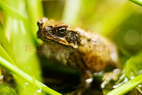 cane toad;cane toads;toad;toads;cane toad in grass;cane toad sitting in grass;animal;animals;pest;pests;introduced species;menace;vermin;poisonous;poison;poison gland;poisonous gland;poisonous glands;poison glands;close up;close-up;amphibian;amphibians;ugly;frog;frogs;obnxious;bufo marinus;toxin;toxic