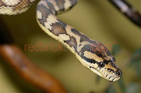 snake; snakes; animal; animals; australian snake; australian snakes; australian animal; australian animals; python; pythons; australian python; australian pythons; carpet python; carpet pythons; carpet snake; carpet snakes; moreila spilota; australian native animal; australian native animals; native animal; native animals; native; natives; reptile; reptiles; australian reptile; australian reptiles; serpent; serpents; wild snake; wild snakes; wild animal; wild animals;