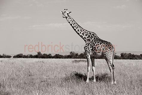 giraffe; giraffes; animal; animals; wild giraffe; wild giraffes; wild animal; wild animals; wild; in the wild; giraffe in the wild; giraffes in the wild; animal in the wild; animals in the wild; african giraffe; african giraffes; african animal; african animals; africa; african; kenya; kenyan; african wildlife; african wild life; safari; safaris; african safari; african safaris; tall; tall animal; tall animals; long neck; long necks; tall neck; tall necks; tall; tall animal; tall animals; giraffe neck; giraffe necks; pattern; patterns; patterned; giraffe pattern; giraffe patterns; terrestrial; terrestrial animal; terrestrial animals; terrestrial mammal; terrestrial mammals; mammal; mammals; giraffe portrait; giraffe portraits; animal portrait; animal portraits; giraffa camelopardalis; tree; trees; treeline; treelines; tree line; tree lines; grass; grasses; dry grass; dry grasses; wildlife; wild life; wildlife photography; wild life photography; nature; natural habitat; natural habitats; looking at camera; looking at the camera; black and white; black & white; black + white; b&w; b & w; b+w; b + w; monochrome; mono; sepia; sepia tone; sepia tones; day; daytime; day time; during the day; in the daytime; in the day time; daylight; day light; tourist attraction; tourist attractions; african tourist attraction; african tourist attractions; kenyan tourist attraction; kenyan tourist attractions; tourist destination; tourist destinations; african tourist destination; african tourist destinations; kenyan tourist destination; kenyan tourist destinations; travel; travels; traveling; overseas travel; over seas travel; overseas; over seas; holiday; holidays; vacation; vacations; trip; trips; overseas holiday; overseas holidays; over seas holiday; over seas holidays; overseas vacation; overseas vacations; over seas vacation; over seas vacations; overseas trip; overseas trips; over seas trip; over seas trips; royalty free; rf; royalty free image; royalty free images; rf image; rf images; copyspace; copy space; textspace; text space; at; on; in; and; &; +;