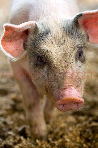 pig; pigs; animal; animals; piglet; piglets; baby pig; baby pigs; baby animal; baby animals; snout; snouts; pig snout; pig snouts; pigs snout; pigs snouts; nose; noses; pig nose; pig noses; pigs nose; pigs noses; pigsty; pigsties; pig sty; pig sties; sty; sties; pigpen; pigpens; pig pen; pig pens; pen; pens; pig in pigsty; pigs in pigsty; pigs in pigsties; pig in pig sty; pigs in pig sty; pigs in pig sties; pig in sty; pigs in sties; pig in pigpen; pigs in pigpen; pigs in pigpens; pig in pig pen; pigs in pig pen; pigs in pig pens; pig in pen; pigs in pen; pigs in pens; pig in a pigsty; pigs in a pigsty; pig in a pig sty; pigs in a pig sty; pig in a sty; pigs in a sty; pig in a pigpen; pigs in a pigpen; pig in a pig pen; pigs in a pig pen; pig in a pen; pigs in a pen; piggy; piggie; piggies; pink pig; pink pigs; pink piglet; pink piglets; pig farming; pig farming industry; farming industry; farm animal; farm animals; farm; farms; farming; australian farm; australian farms; australian pig farming; australian pig farming industry; australian farming; australian farming industry; on farm; on the farm; pig on farm; pigs on farm; pig on the farm; pigs on the farm; at farm; at the farm; pig at farm; pigs at farm; pig at the farm; pigs at the farm; pig farmer; pig farmers; farmer; farmers; food chain; food chains; livestock; live stock; stock; swine; swine flu; mud; muds; muddy; pig in mud; pigs in mud; piglet in mud; piglets in mud; happy as a pig in mud; as happy as a pig in mud; muddy pig; muddy pigs; muddy piglet; muddy piglets; dirt; dirts; dirty; dirty pig; dirty pigs; dirty piglet; dirty piglets; grub; grubs; grubby; grubby pig; grubby pigs; grubby piglet; grubby piglets; pig portrait; pig portraits; piglet portrait; piglet portraits; animal portrait; animal portraits; petting zoo; petting zoos; animal nursery; animal nurseries; nursery; nurseries; children petting zoo; children petting zoos; children animal nursery; children animal nurseries; children nursery; children nurseries; pet; pets; pet animal; pet animals; family pet; family pets; family pet animal; family pet animals; pet pig; pet pigs; family pet pig; family pet pigs; suidae; smell; smells; smelling; scent; smelly; australian animal; australian animals; animal photography; agriculture; agricultural; agriculture industry; australian agriculture industry; agricultural industry; australian agricultural industry; sow; sows; filth; filthy; mammal; mammals; ear; ears; pug ear; pig ears; pigs ears; face; faces; pig face; pig faces; animal face; animal faces; head; heads; pig head; pig heads; animal head; animal heads; walk; walks; walking; australia; australian; aus; royalty free; rf; royalty free image; royalty free images; rf image; rf images; close-up; close-ups; close up; close ups; closeup; closeups; close-up view; close-up views; closeup view; closeup views; close-up views; close-up views; close up views; closeup views; copyspace; copy space; textspace; text space; at; on; in; and; &; +;