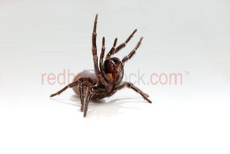 spider; spiders; animal; animals; funnel web spider; funnel web spiders; funnel-web spider; funnel-web spiders; funnel web; funnel webs; funnel-web; funnel-webs; atracinae; hexathelidae; agelenidae; australian spider; australian spiders; australian animal; australian animals; creepy crawly; creepy crawlie; creepy crawlies; critter; critters; creature; creatures; poisonous; poison; poisons; venomous; venom; venoms; 