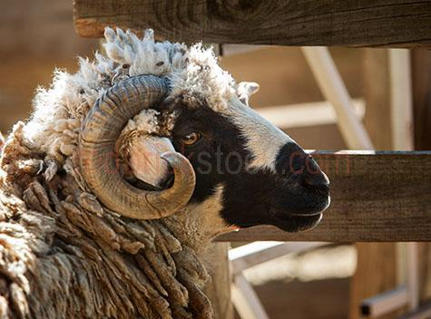 sheep; sheeps; animal; animals; ovine; ovines; ovine industry; wool; wooly; woolly; woolley; fleece; fleeces; livestock; live stock; stock; sheep industry; sheep farming industry; farming industry; farm animal; farm animals; farm; farms; farming; sheep farming; australian farm; australian farms; australian sheep farming; australian sheep farming industry; australian farming; australian farming industry; australian ovine industry; fence; fences; fenced; on farm; on the farm; sheep on farm; sheep on the farm; at farm; at the farm; sheep at farm; sheep at the farm; sheep farmer; sheep farmers; farmer; farmers; food chain; food chains; sheep yard; sheep yards; yard; yards; sheep pen; sheep pens; pen; pens; country; country setting; country settings; rural; rural area; rural areas; rural setting; rural settings; rural australia; regional; regional australia; ram; rams; horn; horns; sheep horn; sheep horns; ram horn; ram horns; sheep portrait; sheep portraits; animal portrait; animal portraits; animal photography; looking at camera; looking at the camera; agriculture; agricultural; agriculture industry; agricultural industry; australian agriculture industry; australian agricultural industry; black and white sheep; black & white sheep; side; sides; side view; side views; side angle; side angles; profile; profiles; side profile; side profiles; side on; sheep side on; sheep side view; sheep side views; sheep profile; sheep profiles; face; faces; sheep face; sheep faces; animal face; animal faces; head; heads; sheep head; sheep heads; animal head; animal heads; day; daytime; day time; during the day; in the daytime; in the day time; daylight; day light; australia; australian; aus; royalty free; rf; royalty free image; royalty free images; rf image; rf images; close-up; close-ups; close up; close ups; closeup; closeups; close-up view; close-up views; closeup view; closeup views; close-up views; close-up views; close up views; closeup views; copyspace; copy space; textspace; text space; at; on; in; and; &; +;
