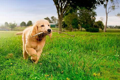 dog; dogs; hound; hounds; canine; canines; animal; animals; labrador; labradors; labrador dog; labrador dogs; golden retriever; golden retrievers; golden retriever dog; golden retriever dogs; guide dog; guide dogs; puppy school; puppy schools; dog training; guide dog training; puppy; puppies; pup; pups; baby dog; baby dogs; baby animal; baby animals; baby; babies; cute; pet; pets; pet animal; pet animals; family pet; family pets; family pet animal; family pet animals; pet dog; pet dogs; family pet dog; family pet dogs; pet puppy; pet puppies; pet pup; pet pups; domestic dog; domestic dogs; guard dog; guard dogs; home security; security; fetch; fetches; fetching; fetched; playing fetch; fetching stick; fetching sticks; dog playing fetch; dogs playing fetch; dog fetching stick; dog fetching sticks; dogs fetching stick; dogs fetching sticks; retrieving stick; dog retrieving stick; dogs retrieving sticks; stick; sticks; twig; twigs; dog with stick in mouth; dogs with stick in mouth; dogs with sticks in mouth; play; plays; playing; playful; dog playing; dogs playing; playful dog; playful dogs; puppy playing; puppies playing; playful puppy; playful puppies; pup playing; pups playing; playful pup; playful pups; mans best friend; dog park; dog parks; dog friendly park; dog friendly parks; pet friendly park; pet friendly parks; park; parks; public park; public parks; at park; at parks; at the park; at a park; at public park; at public parks; at a public park; dog at park; dogs at park; dogs at parks; dog at the park; dogs at the park; dog at a park; dogs at a park; dog at public park; dogs at public park; dogs at public parks; dog at a public park; dogs at a public park; dog friendly; pet friendly; run; runs; running; running in park; running in parks; running at park; running at parks; dog running in park; dogs running in parks; dogs running in parks; dog running at park; dogs running at parks; dogs running at parks; dog running; dogs running; lean; lean dog; lean dogs; lean animal; lean animals; collar; collars; dog collar; dog collars; energetic; energetic dog; energetic dogs; purebred; pure bred; purebreds; pure breds; pure-bred; pure-breds; purebreed; pure breed; purebreeds; pure breeds; pure-breed; pure-breeds; purebred dog; purebred dogs; pure bred dog; pure bred dogs; pure-bred dog; pure-bred dogs; purebreed dog; purebreed dogs; pure breed dog; pure breed dogs; pure-breed dog; pure-breed dogs; back yard; back yards; dog in backyard; dogs in backyard; dog in back yard; dogs in back yard; dog portrait; dog portraits; animal portrait; animal portraits; pet portrait; pet portraits; animal photography; pet photography; nature; grass; grasses; green grass; green grasses; lush; lush grass; lush grasses; lush green grass; lush green grasses; tree; trees; green tree; green trees; sky; skies; blue sky; blue skies; sunlight; sun light; sunny; sunny day; sunny days; sunny weather; day; daytime; day time; during the day; in the daytime; in the day time; daylight; day light; australia; australian; aus; rights managed; rm; rights managed image; rights managed images; rm image; rm images; close-up; close-ups; close up; close ups; closeup; closeups; close-up view; close-up views; closeup view; closeup views; close-up views; close-up views; close up views; closeup views; copyspace; copy space; textspace; text space; at; on; in; and; &; +;