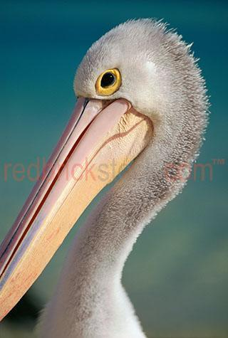 pelican; pelicans; bird; birds; animal; animals; australian bird; australian birds; australian animal; australian animals; water bird; water birds; sea bird; sea birds; seabird; seabirds; bill; bills; pelican bill; pelican bills; beak; beaks; pelican beak; pelican beaks; bird beak; bird beaks; beach; beaches; australian beach; australian beaches; queensland beach; queensland beaches; qld beach; qld beaches; queensland; qld; moreton bay; moreton island; moreton bay island; moreton; moreton bay beach; moreton bay beaches; moreton island beach; moreton island beaches; moreton beach; moreton beaches; coast; coasts; coastal; east coast; australian east coast; australias east coast; east coast of australia; coastal living; coastal lifestyle; coastal lifestyles; australia; australian; aus; maritime; marine; ocean; oceans; ocean water; ocean waters; sea; seas; sea water; sea waters; water; waters; lagoon; lagoons; lagoon water; aquatic; swim; swims; swimming; pelican swimming; pelicans swimming; bird swimming; birds swimming; float; floats; floating; floating on water; pelican floating on water; pelicans floating on water; bird floating on water; birds floating on water; pelican in water; pelicans in water; pelican in ocean; pelicans in ocean; pelican in sea; pelicans in sea; bird in water; birds in water; bird in ocean; birds in ocean; bird in sea; birds in sea; at the beach; at beach; on the beach; on beach; pelican at the beach; pelicans at the beach; pelican at beach; pelicans at beach; pelican on the beach; pelicans on the beach; pelican on beach; pelicans on beach; bird at the beach; birds at the beach; bird at beach; birds at beach; bird on the beach; birds on the beach; bird on beach; birds on beach; sealife; sea life; on land; pelican on land; pelicans on land; bird on land; birds on land; animal on land; animals on land; wild pelican; wild pelicans; wild bird; wild birds; wild animal; wild animals; in the wild; pelican in the wild; pelicans in the wild; bird in the wild; birds in the wild; animal in the wild; animals in the wild; feather; feathers; pelican feather; pelican feathers; bird feather; bird feathers; white feather; white feathers; pelican portrait; pelican portraits; bird portrait; bird portraits; animal portrait; animal portraits; pelecanidae; head; heads; pelican head; pelican heads; face; faces; pelican face; pelican faces; wildlife; wild life; australian wildlife; australian wild life; wildlife photography; wild life photography; nature; natural habitat; natural habitats; national park; national parks; protected area; protected areas; conservation; conservations; mammal; mammals; australian mammal; australian mammals; eye; eyes; pelican eye; pelican eyes; bird eye; bird eyes; animal eye; animal eyes; animal photography; blue water; day; daytime; day time; during the day; in the daytime; in the day time; daylight; day light; tourist attraction; tourist attractions; australian tourist attraction; australian tourist attractions; queensland tourist attraction; queensland tourist attractions; qld tourist attraction; qld tourist attractions; moreton bay tourist attraction; moreton bay tourist attractions; moreton island tourist attraction; moreton island tourist attractions; tourist destination; tourist destinations; australian tourist destination; australian tourist destinations; queensland tourist destination; queensland tourist destinations; qld tourist destination; qld tourist destinations; moreton bay tourist destination; moreton bay tourist destinations; moreton island tourist destination; moreton island tourist destinations; tourism; tourism australia; australian tourism; tourism queensland; tourism qld; queensland tourism; qld tourism; moreton bay tourism; moreton island tourism; profile; profiles; pelican profile; pelican profiles; side view; side views; pelican side view; pelican side views; beach; beaches; australian beach; australian beaches; beach setting; beach settings; australian beach setting; australian beach settings; royalty free; rf; royalty free image; royalty free images; rf image; rf images; close-up; close-ups; close up; close ups; closeup; closeups; close-up view; close-up views; closeup view; closeup views; close-up views; close-up views; close up views; closeup views; copyspace; copy space; textspace; text space; at; on; in; and; &; +;