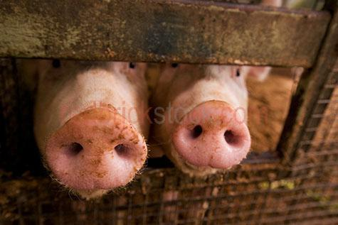 pig; pigs; animal; animals; piglet; piglets; baby pig; baby pigs; baby animal; baby animals; snout; snouts; pig snout; pig snouts; pigs snout; pigs snouts; nose; noses; pig nose; pig noses; pigs nose; pigs noses;pigsty; pigsties; pig sty; pig sties; sty; sties; pigpen; pigpens; pig pen; pig pens; pen; pens; pig in pigsty; pigs in pigsty; pigs in pigsties; pig in pig sty; pigs in pig sty; pigs in pig sties; pig in sty; pigs in sties; pig in pigpen; pigs in pigpen; pigs in pigpens; pig in pig pen; pigs in pig pen; pigs in pig pens; pig in pen; pigs in pen; pigs in pens; pig in a pigsty; pigs in a pigsty; pig in a pig sty; pigs in a pig sty; pig in a sty; pigs in a sty; pig in a pigpen; pigs in a pigpen; pig in a pig pen; pigs in a pig pen; pig in a pen; pigs in a pen; piggy; piggie; piggies;pink pig; pink pigs;pink piglet; pink piglets;pig farming; pig farming industry; farming industry; farm animal; farm animals; farm; farms; farming; australian farm; australian farms; australian pig farming; australian pig farming industry; australian farming; australian farming industry; on farm; on the farm; pig on farm; pigs on farm; pig on the farm; pigs on the farm; at farm; at the farm; pig at farm; pigs at farm; pig at the farm; pigs at the farm; pig farmer; pig farmers; farmer; farmers; food chain; food chains;livestock; live stock; stock;swine; swine flu;mud; muds; muddy;pig in mud; pigs in mud; piglet in mud; piglets in mud; happy as a pig in mud; as happy as a pig in mud; muddy pig; muddy pigs;muddy piglet; muddy piglets; dirt; dirts; dirty; dirty pig; dirty pigs; dirty piglet; dirty piglets; grub; grubs; grubby;grubby pig; grubby pigs; grubby piglet; grubby piglets;pig portrait; pig portraits; animal portrait; animal portraits; petting zoo; petting zoos; animal nursery; animal nurseries; nursery; nurseries; children petting zoo; children petting zoos; children animal nursery; children animal nurseries; children nursery; children nurseries;pet; pets; pet animal; pet anima