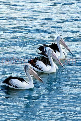 pelican; pelicans; bird; birds; animal; animals; australian bird; australian birds; australian animal; australian animals; water bird; water birds; sea bird; sea birds; seabird; seabirds; water; waters; river; rivers; river water; blue water; aquatic; swim; swims; swimming; pelican swimming; pelicans swimming; bird swimming; birds swimming; float; floats; floating; floating on water; pelican floating on water; pelicans floating on water; bird floating on water; birds floating on water; pelican in water; pelicans in water; pelican in river; pelicans in river; wet; wet animal; wet animals; wild pelican; wild pelicans; wild bird; wild birds; wild animal; wild animals; in the wild; pelican in the wild; pelicans in the wild; bird in the wild; birds in the wild; animal in the wild; animals in the wild; bill; bills; pelican bill; pelican bills; beak; beaks; pelican beak; pelican beaks; bird beak; bird beaks; wing; wings; pelican wing; pelican wings; bird wing; bird wings; feather; feathers; pelican feather; pelican feathers; bird feather; bird feathers; white feather; white feathers; black feather; black feathers; flock; flocks; flock of pelicans; flocks of pelicans; pelican flock; pelican flocks; flock of birds; flocks of birds; bird flock; bird flocks; pelican portrait; pelican portraits; bird portrait; bird portraits; mammal; mammals; australian mammal; australian mammals; pelecanidae; wildlife; wild life; australian wildlife; australian wild life; wildlife photography; wild life photography; marine life; nature; natural habitat; natural habitats; animal photography; three; 3; trio; three pelicans; 3 pelicans; three birds; 3 birds; murray darling river; murray-darling river; murray darling basin; murray-darling basin; new south whales; nsw; wentworth; australia; australian; aus; rights managed; rm; rights managed image; rights managed images; rm image; rm images; copyspace; copy space; textspace; text space; at; on; in; and; &; +;