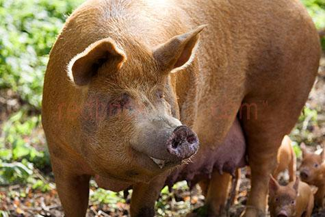 pig; pigs; animal; animals; piglet; piglets; baby pig; baby pigs; baby animal; baby animals; baby; babies; cute; snout; snouts; pig snout; pig snouts; pigs snout; pigs snouts; nose; noses; pig nose; pig noses; pigs nose; pigs noses;smell; smells; smelling; scent; smelly; pigsty; pigsties; pig sty; pig sties; sty; sties; pigpen; pigpens; pig pen; pig pens; pen; pens; pig in pigsty; pigs in pigsty; pigs in pigsties; pig in pig sty; pigs in pig sty; pigs in pig sties; pig in sty; pigs in sties; pig in pigpen; pigs in pigpen; pigs in pigpens; pig in pig pen; pigs in pig pen; pigs in pig pens; pig in pen; pigs in pen; pigs in pens; pig in a pigsty; pigs in a pigsty; pig in a pig sty; pigs in a pig sty; pig in a sty; pigs in a sty; pig in a pigpen; pigs in a pigpen; pig in a pig pen; pigs in a pig pen; pig in a pen; pigs in a pen; piggy; piggie; piggies;pink pig; pink pigs;pink piglet; pink piglets;pig farming; pig farming industry; farming industry; farm animal; farm animals; farm; farms; farming; on farm; on the farm; pig on farm; pigs on farm; pig on the farm; pigs on the farm; at farm; at the farm; pig at farm; pigs at farm; pig at the farm; pigs at the farm; piglet on farm; piglets on farm; piglet on the farm; piglets on the farm; piglet at farm; piglets at farm; piglet at the farm; piglets at the farm; pig farmer; pig farmers; farmer; farmers; food chain; food chains;livestock; live stock; stock;country; country setting; country settings; rural; rural area; rural areas; rural setting; rural settings;swine; swine flu;dirt; dirts; dirty; dirty pig; dirty pigs; dirty piglet; dirty piglets; grub; grubs; grubby;grubby pig; grubby pigs; grubby piglet; grubby piglets;pig portrait; pig portraits; animal portrait; animal portraits; pet; pets; pet animal; pet animals; mammal; mammals; suidae; agriculture; agricultural; agriculture industry; agricultural industry; nature; animal photography; day; daytime; day time; during the day; in the daytime; in the day time; daylight; day