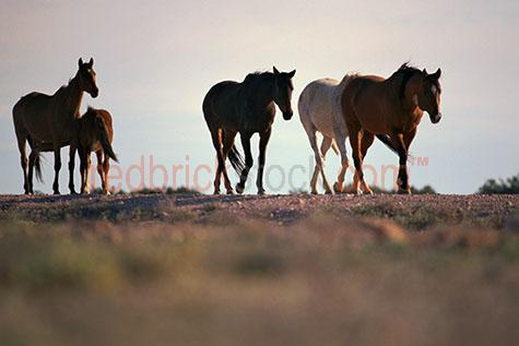 horse; horses; animal; animals; equine; equines; wild; wild horse; wild horses; brumby; brumbies; wild brumby; wild brumbies; wild animal; wild animals; wild; in the wild; horse in the wild; horses in the wild; brumby in the wild; brumbies in the wild; animal in the wild; animals in the wild; outback; out back; outback australia; out back australia; australian outback; australian out back; horse in outback; horses in outback; horse in the outback; horses in the outback; horse in out back; horses in out back; horse in the out back; horses in the out back; brumby in outback; brumbies in outback; brumby in the outback; brumbies in the outback; brumby in out back; brumbies in out back; brumby in the out back; brumbies in the out back; horse portrait; horse portraits; brumby portrait; brumby portraits; animal portrait; animal portraits; horse ranch; horse ranches; stallion ranch; stallion ranches; outback ranch; outback ranches; out back ranch; out back ranches; ranch; ranches; station; stations; horse station; horse stations; outback station; outback stations; out back station; out back stations; equine; equine flu; equine influenza; horse flu; graze; grazes; grazing; horse grazing; horses grazing;country; countryside; country setting; country settings; australian country; australian countryside; rural; rural area; rural areas; rural setting; rural settings; rural australia;regional; regional australia;livestock; live stock; stock; stockman; stockmen;stock horse; stock horses; stockhorse; stockhorses;herd; herds; herding; horse herd; horse herds; herd of horses; herds of horses; brumby herd; brumby herds; herd of brumbies; herds of brumbies; mammal; mammals; australian mammal; australian mammals;australian animal; australian animals; mare; mares; mare horse; mare horses;stallion; stallions; stallion horse; stallion horses;foal; foals; foal horse; foal horses; baby horse; baby horses; baby animal; baby animals; baby; babies; cute; mother and child; mother & child;chestnu