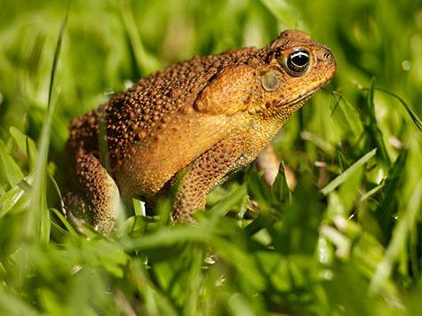 cane toad; cane toads; toad; toads; frog; frogs; animal; animals; australian animal; australian animals; reptile; reptiles; australian reptile; australian reptiles; amphibian; amphibians; australian amphibian; australian amphibians; pest; pests; vermin; menace; menaces; menacing; nuisance; nuisances; annoying; poisonous; poison; poisons; poisonous gland; poisonous glands; poison gland; poison glands; toxic; toxin; toxins; wild cane toad; wild cane toads; wild toad; wild toads; wild frog; wild frogs; wild animal; wild animals; wild; in the wild; cane toad in the wild; cane toads in the wild; toad in the wild; toads in the wild; frog in the wild; frogs in the wild; animal in the wild; animals in the wild; introduced species; creature; creatures; ugly; grass; grasses; green grass; green grasses;