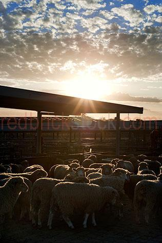 sheep; sheeps; animal; animals; merino sheep; merino; merinos; ovine; ovines; ovine industry; wool; wooly; woolly; woolley; fleece; fleeces; livestock; live stock; stock; sheep industry; sheep farming industry; farming industry; farm animal; farm animals; farm; farms; farming; sheep farming; australian farm; australian farms; australian sheep farming; australian sheep farming industry; australian farming; australian farming industry; australian ovine industry; sheep farmer; sheep farmers; farmer; farmers; food chain; food chains; livestock saleyards; livestock sale yards; live stock saleyards; live stock sale yards; saleyards; sale yards; sheep saleyards; sheep sale yards; sheep sale; sheep sales; livestock sale; livestock sales; live stock sale; live stock sales; sheep yard; sheep yards; yard; yards; sheep pen; sheep pens; pen; pens; crowded sheep yard; crowded sheep yards; crowded yard; crowded yards; crowded sheep pen; crowded sheep pens; crowded pen; crowded pens; crowd; crowds; crowded; crowding; fence; fences; fenced; fencing; country; country setting; country settings; australian country; rural; rural area; rural areas; rural setting; rural settings; rural australia; regional; regional australia; ewe; ewes; flock; flocks; flocking; flock of sheep; flocks of sheep; sheep flock; sheep flocks; animal photography; agriculture; agricultural; agriculture industry; agricultural industry; australian agriculture industry; australian agricultural industry; import; imports; importing; livestock import; livestock imports; importing livestock; live stock import; live stock imports; importing live stock; export; exports; exporting; livestock export; livestock exports; exporting livestock; live stock export; live stock exports; exporting livestock; silhouette; silhouettes; silhouetted; in silhouette; backlit; back lit; backlight; back light; backlighting; back lighting; sky; skies; sunset; sunsets; sunsetting; sun set; sun sets; sun setting; sunset sky; sunset skies; sun set sky; sun set skies; sky; skies; dusk; against sunset sky; against sun set sky; sun; bright sun; sunburst; sun burst; sunray; sunrays; sun ray; sun rays; ray of light; rays of light; sunbeam; sunbeams; sun beam; sun beams; sun flare; sun flares; sun flaring; sun glow; sun glows; sun glowing; glowing sun; sunlight; sun light; daylight; day light; cloud; clouds; cloudy; cloudy sky; cloudy skies; overcast; overcast sky; overcast skies; overcast weather; cumulonimbus cloud; cumulonimbus clouds; nimbostratus cloud; nimbostratus clouds; scattered cloud; scattered clouds; animal cruelty; cruelty to animals; cruel; cruelty; animal abuse; abuse; distress; distressed; distressed animal; distressed animals; scared; scared animal; scared animals; frightened; frightened animal; frightened animals; hamilton; hamilton saleyards; hamilton sale yards; wool capital of australia; wool capitol of australia; south west victoria; sth west victoria; south west vic; sth west vic; victoria; victorian; vic; southern grampians; southern grampians shire; australia; australian; aus; royalty free; rf; royalty free image; royalty free images; rf image; rf images; dark; darkness; close-up; close-ups; close up; close ups; closeup; closeups; close-up view; close-up views; closeup view; closeup views; close-up views; close-up views; close up views; closeup views; copyspace; copy space; textspace; text space; at; on; in; and; &; +;