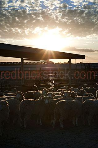 sheep; sheeps; animal; animals; merino sheep; merino; merinos;ovine; ovines; ovine industry; wool; wooly; woolly; woolley; fleece; fleeces;livestock; live stock; stock; sheep industry; sheep farming industry; farming industry; farm animal; farm animals; farm; farms; farming; sheep farming; australian farm; australian farms; australian sheep farming; australian sheep farming industry; australian farming; australian farming industry; australian ovine industry; sheep farmer; sheep farmers; farmer; farmers; food chain; food chains;livestock saleyards; livestock sale yards; live stock saleyards; live stock sale yards; saleyards; sale yards; sheep saleyards; sheep sale yards; sheep sale; sheep sales;livestock sale; livestock sales; live stock sale; live stock sales; sheep yard; sheep yards; yard; yards; sheep pen; sheep pens; pen; pens;crowded sheep yard; crowded sheep yards; crowded yard; crowded yards; crowded sheep pen; crowded sheep pens; crowded pen; crowded pens; crowd; crowds; crowded;crowding; fence; fences; fenced; fencing; country; country setting; country settings; australian country; rural; rural area; rural areas; rural setting; rural settings; rural australia; regional; regional australia;ewe; ewes; flock; flocks; flocking; flock of sheep; flocks of sheep; sheep flock; sheep flocks; animal photography; agriculture; agricultural; agriculture industry; agricultural industry; australian agriculture industry; australian agricultural industry; import; imports; importing; livestock import; livestock imports; importing livestock; live stock import; live stock imports; importing live stock; export; exports; exporting; livestock export; livestock exports; exporting livestock; live stock export; live stock exports; exporting livestock; silhouette; silhouettes; silhouetted; in silhouette; backlit; back lit; backlight; back light; backlighting; back lighting; sky; skies; sunset; sunsets; sunsetting; sun set; sun sets; sun setting; sunset sky; sunset skies; sun set sky; 