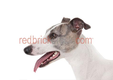 dog;dogs;hound;hounds;canine;canines;animal;animals;greyhound;greyhounds;grey hound;grey hounds;greyhound dog;greyhound dogs;grey hound dog;grey hound dogs;racing dog;racing dogs;greyhound racing;greyhound races;grey hound racing;grey hound races;ex racing dog;ex racing dogs;ex racing greyhound;ex racing greyhounds;ex racing grey hound;ex racing grey hounds;whippet;whippets;whippet dog;whippet dogs;pet;pets;pet animal;pet animals;family pet;family pets;family pet animal;family pet animals;pet dog;pet dogs;family pet dog;family pet dogs;domestic dog;domestic dogs;nose;noses;dog nose;dog noses;scent;smell;smells;smelling;sniff;sniffs;sniffing;mouth;mouths;dog mouth;dog mouths;mouth open;open mouth;dog mouth open;dogs mouth open;tongue;tongues;dog tongue;dog tongues;tongue out;tongues out;dog tongue out;dog tongues out;tongue hanging out;tongues hanging out;dog tongue hanging out;dog tongues hanging out;mans best friend;face;faces;dog face;dog faces;greyhound face;greyhound faces;grey hound face;grey hound faces;whippet face;whippet faces;head;heads;dog head;dog heads;greyhound head;greyhound heads;grey hound head;grey hound heads;whippet head;whippet heads;purebred;pure bred;purebreds;pure breds;pure-bred;pure-breds;purebreed;pure breed;purebreeds;pure breeds;pure-breed;pure-breeds;purebred dog;purebred dogs;pure bred dog;pure bred dogs;pure-bred dog;pure-bred dogs;purebreed dog;purebreed dogs;pure breed dog;pure breed dogs;pure-breed dog;pure-breed dogs;crossbred;cross bred;crossbreds;cross breds;cross-bred;cross-breds;crossbreed;cross breed;crossbreeds;cross breeds;cross-breed;cross-breeds;crossbred dog;crossbred dogs;cross bred dog;cross bred dogs;cross-bred dog;cross-bred dogs;crossbreed dog;crossbreed dogs;cross breed dog;cross breed dogs;cross-breed dog;cross-breed dogs;dog portrait;dog portraits;animal portrait;animal portraits;pet portrait;pet portraits;animal photography;pet photography;profile;profiles;dog profile;dog profiles;greyhound profile;greyhound pro
