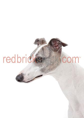 dog;dogs;hound;hounds;canine;canines;animal;animals;greyhound;greyhounds;grey hound;grey hounds;greyhound dog;greyhound dogs;grey hound dog;grey hound dogs;racing dog;racing dogs;greyhound racing;greyhound races;grey hound racing;grey hound races;ex racing dog;ex racing dogs;ex racing greyhound;ex racing greyhounds;ex racing grey hound;ex racing grey hounds;whippet;whippets;whippet dog;whippet dogs;pet;pets;pet animal;pet animals;family pet;family pets;family pet animal;family pet animals;pet dog;pet dogs;family pet dog;family pet dogs;domestic dog;domestic dogs;nose;noses;dog nose;dog noses;scent;smell;smells;smelling;sniff;sniffs;sniffing;mouth;mouths;dog mouth;dog mouths;mans best friend;face;faces;dog face;dog faces;greyhound face;greyhound faces;grey hound face;grey hound faces;whippet face;whippet faces;head;heads;dog head;dog heads;greyhound head;greyhound heads;grey hound head;grey hound heads;whippet head;whippet heads;purebred;pure bred;purebreds;pure breds;pure-bred;pure-breds;purebreed;pure breed;purebreeds;pure breeds;pure-breed;pure-breeds;purebred dog;purebred dogs;pure bred dog;pure bred dogs;pure-bred dog;pure-bred dogs;purebreed dog;purebreed dogs;pure breed dog;pure breed dogs;pure-breed dog;pure-breed dogs;crossbred;cross bred;crossbreds;cross breds;cross-bred;cross-breds;crossbreed;cross breed;crossbreeds;cross breeds;cross-breed;cross-breeds;crossbred dog;crossbred dogs;cross bred dog;cross bred dogs;cross-bred dog;cross-bred dogs;crossbreed dog;crossbreed dogs;cross breed dog;cross breed dogs;cross-breed dog;cross-breed dogs;dog portrait;dog portraits;animal portrait;animal portraits;pet portrait;pet portraits;animal photography;pet photography;profile;profiles;dog profile;dog profiles;greyhound profile;greyhound profiles;grey hound profile;grey hound profiles;whippet profile;whippet profiles;ear;ears;dog ear;dog ears;eye;eyes;dog eye;dog eyes;animal eye;animal eyes;australian animal;australian animals;australia;australian;aus;studio;studio po