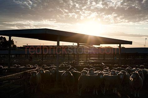 sheep; sheeps; animal; animals; merino sheep; merino; merinos; ovine; ovines; ovine industry; wool; wooly; woolly; woolley; fleece; fleeces; livestock; live stock; stock; sheep industry; sheep farming industry; farming industry; farm animal; farm animals; farm; farms; farming; sheep farming; australian farm; australian farms; australian sheep farming; australian sheep farming industry; australian farming; australian farming industry; australian ovine industry; sheep farmer; sheep farmers; farmer; farmers; food chain; food chains; livestock saleyards; livestock sale yards; live stock saleyards; live stock sale yards; saleyards; sale yards; sheep saleyards; sheep sale yards; sheep sale; sheep sales; livestock sale; livestock sales; live stock sale; live stock sales; sheep yard; sheep yards; yard; yards; sheep pen; sheep pens; pen; pens; crowded sheep yard; crowded sheep yards; crowded yard; crowded yards; crowded sheep pen; crowded sheep pens; crowded pen; crowded pens; crowd; crowds; crowded; crowding; fence; fences; fenced; fencing; country; country setting; country settings; australian country; rural; rural area; rural areas; rural setting; rural settings; rural australia; regional; regional australia; ewe; ewes; flock; flocks; flocking; flock of sheep; flocks of sheep; sheep flock; sheep flocks; animal photography; agriculture; agricultural; agriculture industry; agricultural industry; australian agriculture industry; australian agricultural industry; import; imports; importing; livestock import; livestock imports; importing livestock; live stock import; live stock imports; importing live stock; export; exports; exporting; livestock export; livestock exports; exporting livestock; live stock export; live stock exports; exporting livestock; silhouette; silhouettes; silhouetted; in silhouette; backlit; back lit; backlight; back light; backlighting; back lighting; sky; skies; sunset; sunsets; sunsetting; sun set; sun sets; sun setting; sunset sky; sunset skies; sun set sky; sun set skies; sky; skies; dusk; against sunset sky; against sun set sky; sun; bright sun; sunburst; sun burst; sunray; sunrays; sun ray; sun rays; ray of light; rays of light; sunbeam; sunbeams; sun beam; sun beams; sun flare; sun flares; sun flaring; sun glow; sun glows; sun glowing; glowing sun; sunlight; sun light; daylight; day light; cloud; clouds; cloudy; cloudy sky; cloudy skies; overcast; overcast sky; overcast skies; overcast weather; cumulonimbus cloud; cumulonimbus clouds; nimbostratus cloud; nimbostratus clouds; scattered cloud; scattered clouds; animal cruelty; cruelty to animals; cruel; cruelty; animal abuse; abuse; distress; distressed; distressed animal; distressed animals; scared; scared animal; scared animals; frightened; frightened animal; frightened animals; hamilton; hamilton saleyards; hamilton sale yards; wool capital of australia; wool capitol of australia; south west victoria; sth west victoria; south west vic; sth west vic; victoria; victorian; vic; southern grampians; southern grampians shire; australia; australian; aus; stock agent; stock agents; livestock agent; livestock agents; live stock agent; live stock agents; farm hand; farm hands; farmhand; farmhands; work; works; working; worker; workers; at work; farm work; people; person; australian person; australian people; australians; aussie; aussies; man; men; guy; guys; male; males; boy; boys; australian man; australian men; australian guy; australian guys; australian male; australian males; australian boy; australian boys; apprentice; apprentices; apprenticeship; apprenticeships; occupation; occupations; job; jobs; vocation; vocations; employment; australian occupation; australian occupations; australian job; australian jobs; australian employment; employee; employees; australian employee; australian employees; career; careers; australian career; australian careers; workplace; workplaces; working outside; working outdoors; working with animals; royalty free; rf; royalty free image; royalty free images; rf image; rf images; dark; darkness; close-up; close-ups; close up; close ups; closeup; closeups; close-up view; close-up views; closeup view; closeup views; close-up views; close-up views; close up views; closeup views; copyspace; copy space; textspace; text space; at; on; in; and; &; +;