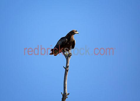 hawk;hawks;black kite hawk;black kite hawks;black kite;black kites;bird;birds;animal;animals;bird of prey;birds of prey;australian bird;australian birds;australian animal;australian animals;sitting on a branch;sitting on branch;hawk sitting on a branch;hawks sitting on a branch;hawk sitting on branch;hawks sitting on branch;bird sitting on a branch;birds sitting on a branch;bird sitting on branch;birds sitting on branch;branch;branches;tree branch;tree branches;wild hawk;wild hawks;wild bird;wild birds;wild animal;wild animals;wild;in the wild;hawk in the wild;hawks in the wild;bird in the wild;birds in the wild;animal in the wild;animals in the wild;wing;wings;hawk wing;hawk wings;bird wing;bird wings;beak;beaks;hawk beak;hawk beaks;bird beak;bird beaks;feather;feathers;hawk feather;hawk feathers;bird feather;bird feathers; brown feather;brown feathers;hawk portrait;hawk portraits;bird portrait;bird portraits; perch;perches;perched;bird perch;bird perches;bird perched;perched bird;hawk perch;hawk perches;hawk perched;perched hawk;perched on branch;perched on a branch;bird perched on branch;birds perched on branch;bird perched on a branch;birds perched on a branch;hawk perched on branch;hawks perched on branch;hawk perched on a branch;hawks perched on a branch;side;sides;side view;side views;side angle;side angles;profile;profiles;side profile;side profiles;side on;milvus migrans;wildlife;wild life;australian wildlife;australian wild life;wildlife photography;wild life photography;nature;natural habitat;natural habitats; animal photography;australia;australian;aus;lara;geelong;victoria;victorian;vic;rural;rural area;rural areas;rural australia;regional;regional australia;sky;skies;blue sky;blue skies;clear sky;clear skies;clear blue sky;clear blue skies;against blue sky;against clear blue sky;against clear sky;day;daytime;day time;during the day;in the daytime;in the day time;daylight;day light;claw;claws;bird claw;bird claws;hawk claw;hawk claws;royalty free;rf;royalty free image;royalty free images;rf image;rf images;close-up;close-ups;close up;close ups;closeup;closeups;close-up view;close-up views;closeup view;closeup views;close-up views;close-up views;close up views;closeup views;copyspace;copy space;textspace;text space;at;on;in;and;&;+