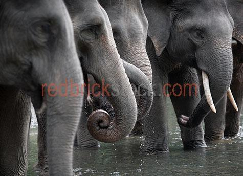 elephant; elephants; animal; animals; asian elephant; asian elephants; asian animal; asian animals; asia; asian; asian wildlife; asian wild life; wildlife; wild life; trunk; trunks; elephant trunk; elephant trunks; endangered animal; endangered animals; endangered species; threatened animal; threatened animals; threatened specials; wild elephant; wild elephants; wild animal; wild animals; wild; in the wild; elephant in the wild; elephants in the wild; animal in the wild; animals in the wild; wrinkle; wrinkles; wrinkly; wrinkly skin;  age; aged; old age; mature; wisdom; tusk; tusks; elephant tusk; elephant tusks; trunk; trunks; elephant trunk; elephant trunks; large animal; large animals; terrestrial; terrestrial animal; terrestrial animals;  terrestrial mammal; terrestrial mammals; mammal; mammals; waterhole; waterholes; water hole; water holes; elephant at waterhole; elephants at waterhole; elephant at water hole; elephant at water holes; river; rivers; water; waters; bath; baths; bathing; bathe; bathes; drink; drinks; drinking; elephant portrait; elephant portraits; animal portrait; animal portraits; elephantidae; elephas maximus sumatrensis; nature; natural habitat; natural habitats;  wildlife photography; wild life photography; wet; wet animal; wet animals; in water; elephant in water; elephants in water; zoo; zoos; animal zoo; animal zoos; sumatra; indonesia; indonesian; indonesian elephant; indonesian elephants; reflection; reflections; water reflection; water reflections; tourist attraction; tourist attractions; sumatra tourist attraction; sumatra tourist attractions; asia tourist attraction; asia tourist attractions; asian tourist attraction; asian tourist attractions; indonesia tourist attraction; indonesia tourist attractions; indonesian tourist attraction; indonesian tourist attractions; tourist destination; tourist destinations; sumatra tourist destination; sumatra tourist destinations; asia tourist destination; asia tourist destinations; asian tourist destination; asian tourist destinations; indonesia tourist destination; indonesia tourist destinations; indonesian tourist destination; indonesian tourist destinations; tourism; travel; travels; traveling; overseas travel; over seas travel; overseas; over seas; rights managed; rm; rights managed image; rights managed images; rm image; rm images; close-up; close-ups; close up; close ups; closeup; closeups; close-up view; close-up views; closeup view; closeup views; close-up views; close-up views; close up views; closeup views; copyspace; copy space; textspace; text space; at; on; in; and; &; +;