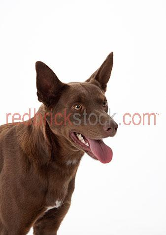 dog;dogs;hound;hounds;canine;canines;animal;animals;kelpie;kelpies;kelpie dog;kelpie dogs;sheep dog;sheep dogs;australian sheep dog;australian sheep dogs;working dog;working dogs;work dog;work dogs;farm dog;farm dogs;farming dog;farming dogs;herding dog;herding dogs;pet;pets;pet animal;pet animals;family pet;family pets;family pet animal;family pet animals;pet dog;pet dogs;family pet dog;family pet dogs;domestic dog;domestic dogs;guard dog;guard dogs;home security;security;nose;noses;dog nose;dog noses;scent;smell;smells;smelling;sniff;sniffs;sniffing;play;plays;playing;playful;dog playing;dogs playing;playful dog;playful dogs;mans best friend;lean;lean dog;lean dogs;lean animal;lean animals;purebred;pure bred;purebreds;pure breds;pure-bred;pure-breds;purebreed;pure breed;purebreeds;pure breeds;pure-breed;pure-breeds;purebred dog;purebred dogs;pure bred dog;pure bred dogs;pure-bred dog;pure-bred dogs;purebreed dog;purebreed dogs;pure breed dog;pure breed dogs;pure-breed dog;pure-breed dogs;crossbred;cross bred;crossbreds;cross breds;cross-bred;cross-breds;crossbreed;cross breed;crossbreeds;cross breeds;cross-breed;cross-breeds;crossbred dog;crossbred dogs;cross bred dog;cross bred dogs;cross-bred dog;cross-bred dogs;crossbreed dog;crossbreed dogs;cross breed dog;cross breed dogs;cross-breed dog;cross-breed dogs;dog portrait;dog portraits;kelpie portrait;kelpie portraits;animal portrait;animal portraits;pet portrait;pet portraits;animal photography;pet photography;australian animal;australian animals;eye;eyes;dog eye;dog eyes;animal eye;animal eyes;ear;ears;dog ear;dog ears;brown dog;brown dogs;brown kelpie;brown kelpies;australia;australian;aus;studio;studio portrait;studio portraits;tongue;tongues;dog tongue;dog tongues;tongue out;tongues out;dog tongue out;dog tongues out;tongue hanging out;tongues hanging out;dog tongue hanging out;dog tongues hanging out;mouth;mouths;dog mouth;dog mouths;mouth open;open mouth;happy;happy dog;happy dogs;face;faces;dog face;dog fa