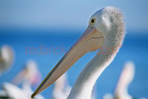 pelican; pelicans; bird; birds; animal; animals; australian bird; australian birds; australian animal; australian animals; water bird; water birds; sea bird; sea birds; seabird; seabirds; bill; bills; pelican bill; pelican bills; beak; beaks; pelican beak; pelican beaks; bird beak; bird beaks; beach; beaches; australian beach; australian beaches; queensland beach; queensland beaches; qld beach; qld beaches; queensland; qld; moreton bay; moreton island; moreton bay island; moreton; moreton bay beach; moreton bay beaches; moreton island beach; moreton island beaches; moreton beach; moreton beaches; coast; coasts; coastal; east coast; australian east coast; australias east coast; east coast of australia; coastal living; coastal lifestyle; coastal lifestyles; australia; australian; aus; maritime; marine; ocean; oceans; ocean water; ocean waters; sea; seas; sea water; sea waters; water; waters; lagoon; lagoons; lagoon water; aquatic; swim; swims; swimming; pelican swimming; pelicans swimming; bird swimming; birds swimming; float; floats; floating; floating on water; pelican floating on water; pelicans floating on water; bird floating on water; birds floating on water; pelican in water; pelicans in water; pelican in ocean; pelicans in ocean; pelican in sea; pelicans in sea; bird in water; birds in water; bird in ocean; birds in ocean; bird in sea; birds in sea; at the beach; at beach; on the beach; on beach; pelican at the beach; pelicans at the beach; pelican at beach; pelicans at beach; pelican on the beach; pelicans on the beach; pelican on beach; pelicans on beach; bird at the beach; birds at the beach; bird at beach; birds at beach; bird on the beach; birds on the beach; bird on beach; birds on beach; sealife; sea life; on land; pelican on land; pelicans on land; bird on land; birds on land; animal on land; animals on land; wild pelican; wild pelicans; wild bird; wild birds; wild animal; wild animals; in the wild; pelican in the wild; pelicans in the wild; bird in the wild; birds in the wild; animal in the wild; animals in the wild; feather; feathers; pelican feather; pelican feathers; bird feather; bird feathers; white feather; white feathers; pelican portrait; pelican portraits; bird portrait; bird portraits; animal portrait; animal portraits; pelecanidae; head; heads; pelican head; pelican heads; face; faces; pelican face; pelican faces; wildlife; wild life; australian wildlife; australian wild life; wildlife photography; wild life photography; nature; natural habitat; natural habitats; national park; national parks; protected area; protected areas; conservation; conservations; mammal; mammals; australian mammal; australian mammals; eye; eyes; pelican eye; pelican eyes; bird eye; bird eyes; animal eye; animal eyes; animal photography; blue water; day; daytime; day time; during the day; in the daytime; in the day time; daylight; day light; tourist attraction; tourist attractions; australian tourist attraction; australian tourist attractions; queensland tourist attraction; queensland tourist attractions; qld tourist attraction; qld tourist attractions; moreton bay tourist attraction; moreton bay tourist attractions; moreton island tourist attraction; moreton island tourist attractions; tourist destination; tourist destinations; australian tourist destination; australian tourist destinations; queensland tourist destination; queensland tourist destinations; qld tourist destination; qld tourist destinations; moreton bay tourist destination; moreton bay tourist destinations; moreton island tourist destination; moreton island tourist destinations; tourism; tourism australia; australian tourism; tourism queensland; tourism qld; queensland tourism; qld tourism; moreton bay tourism; moreton island tourism; sky; skies; blue sky; blue skies; clear sky; clear skies; clear blue sky; clear blue skies; against blue sky; against clear blue sky; against clear sky; profile; profiles; pelican profile; pelican profiles; side view; side views; pelican side view; pelican side views; beach; beaches; australian beach; australian beaches; beach setting; beach settings; australian beach setting; australian beach settings; royalty free; rf; royalty free image; royalty free images; rf image; rf images; close-up; close-ups; close up; close ups; closeup; closeups; close-up view; close-up views; closeup view; closeup views; close-up views; close-up views; close up views; closeup views; copyspace; copy space; textspace; text space; at; on; in; and; &; +;