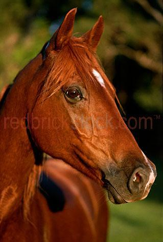 horse; horses; animal; animals; equine; equines; equestrian; equestrian centre; equestrian centres;horse stud; horse studs; stud; studs; horse stud farm; horse stud farms; stud farm; stud farms;pasture; pastures; lush; lush pasture; lush pastures;paddock; paddocks; horse paddock; horse paddocks; horse in paddock; horses in paddock; horses in paddocks; horse in a paddock; horses in a paddock; farm paddock; farm paddocks; farming paddock; farming paddocks; field; fields; lush field; lush fields; mane; manes; horse mane; horse manes; horse yard; horse yards; yard; yards;farm animal; farm animals; farm; farms; farming; farming industry;australian farm; australian farms; australian farming; australian farming industry; on farm; on the farm; horse on farm; horses on farm; horse on the farm; horses on the farm; animal on farm; animals on farm; animal on the farm; animals on the farm; at farm;at the farm; horse at farm; horses at farm; horse at the farm; horses at the farm; animal at farm; animals at farm; animal at the farm; animals at the farm; country; country setting; country settings; australian country; rural; rural area; rural areas; rural setting; rural settings; rural australia; regional; regional australia;livestock; live stock; stock; equine; equine flu; equine influenza; horse flu; horse portrait; horse portraits; animal portrait; animal portraits; mammal; mammals; australian mammal; australian mammals;pet; pets; pet horse; pet horses; pet animal; pet animals; stallion; stallions; stallion horse; stallion horses;gelding; geldings; gelding horse; gelding horses;colt; colts; colt horse; colt horses;filly; fillies; filly horse; filly horses;thoroughbred; thoroughbreds; thoroughbred horse; thoroughbred horses; race horse; race horses; racing horse; racing horses; chestnut; chestnuts; chestnut horse; chestnut horses;brown horse; brown horses; agriculture; agricultural; agriculture industry; australian agriculture industry; agricultural industry; australian agricultur