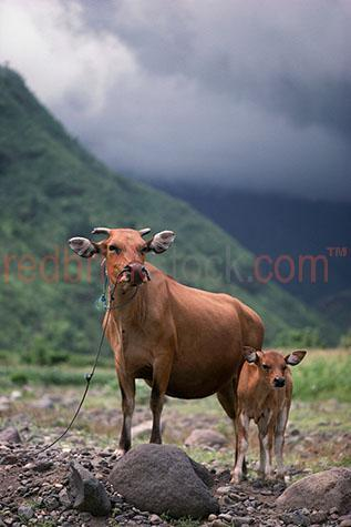 cow; cows; cattle; animal; animals; calf; calves; baby cow; baby cows; baby animal; baby animals; baby; babies; horn; horns;cow horn; cow horns; bovine; bovines; country; countryside; country setting; country settings; bali countryside; balinese countryside; indonesia countryside; indonesian countryside; asian countryside; asia countryside; rural; rural area; rural areas; rural setting; rural settings; bali; central bali; balinese; indonesia; indonesian; asia; asian; southeast asia; south east asia; indonesian cow; indonesian cows; indonesian cattle; bali cow; bali cows; bali cattle; balinese cow; balinese cows; balinese cattle; asian cow; asian cows; asian cattle; bovine industry; livestock; live stock; stock;cattle industry; bovine industry; farming industry; cattle farming industry; graze; grazes; grazing; cow grazing; cows grazing; cattle grazing;beef cattle; beef industry; food chain; food chains;import; imports; importing; livestock import; livestock imports; importing livestock; live stock import; live stock imports; importing live stock; export; exports; exporting; livestock export; livestock exports; exporting livestock; live stock export; live stock exports; exporting livestock; cattle farmer; cattle farmers; beef cattle farmer; beef cattle farmers; farmer; farmers; farm animal; farm animals; cow portrait; cow portraits; cattle portrait; cattle portraits; animal portrait; animal portraits; bali animal; bali animals; balinese animal; balinese animals; indonesian animal; indonesian animals; asian animal; asian animals; breeding season; breeding seasons; mother and child; mother & child;mother; mothers; motherhood; parent; parents; parenting; parenthood; child; children; nurture; nurtures; nurturing;animal photography; agriculture; agricultural; agriculture industry; day; daytime; day time; during the day; in the daytime; in the day time; daylight; day light; mountain; mountains; mountainous; mountain range; mountain ranges; hill; hills; hilly; hillside; hill