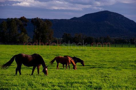 horse; horses; animal; animals; equine; equines; horse stud; horse studs; stud; studs; horse stud farm; horse stud farms; stud farm; stud farms; graze; grazes; grazing; horse grazing; horses grazing; eating grass; horse eating grass; horses eating grass; pasture; pastures; lush; lush pasture; lush pastures; paddock; paddocks; horse paddock; horse paddocks; horse in paddock; horses in paddock; horses in paddocks; horse in a paddock; horses in a paddock; farm paddock; farm paddocks; farming paddock; farming paddocks; field; fields; lush field; lush fields; horse yard; horse yards; yard; yards; farm animal; farm animals; farm; farms; farming; farming industry; australian farm; australian farms; australian farming; australian farming industry; farmland; farmlands; farm land; farm lands; farming property; farming properties; on farm; on the farm; horse on farm; horses on farm; horse on the farm; horses on the farm; animal on farm; animals on farm; animal on the farm; animals on the farm; at farm; at the farm; horse at farm; horses at farm; horse at the farm; horses at the farm; animal at farm; animals at farm; animal at the farm; animals at the farm; equestrian centre; equestrian centres; landscapes; australian landscape; australian landscapes; country; countryside; country setting; country settings; australian country; australian countryside; rural; rural area; rural areas; rural setting; rural settings; rural australia; regional; regional australia; livestock; live stock; stock; mammal; mammals; australian mammal; australian mammals; pet; pets; pet horse; pet horses; pet animal; pet animals; equine; equine flu; equine influenza; horse flu; animal photography; nature; green grass; green grasses; grass; grasses; lush green grass; lush green grasses; fence; fences; fenced; fenced paddock; fenced paddocks; fenceline; fencelines; fence line; fence lines; mountain; mountains; mountainous; mountain range; mountain ranges; agriculture; agricultural; agriculture industry; agricultural industry; australian agriculture industry; australian agricultural industry; mane; manes; horse mane; horse manes; day; daytime; day time; during the day; in the daytime; in the day time; daylight; day light; landscape; landscapes; australian landscape; australian landscapes; tree; trees; tourist attraction; tourist attractions; australian tourist attraction; australian tourist attractions; new south wales tourist attraction; new south wales tourist attractions; nsw tourist attraction; nsw tourist attractions; australian tourist destination; australian tourist destinations; new south wales tourist destination; new south wales tourist destinations; nsw tourist destination; nsw tourist destinations; tourism; tourism australia; australian tourism; new south wales tourism; tourism new south wales; nsw tourism; tourism nsw; hunter valley; the hunter valley; new south wales; nsw; australia; australian; aus; chestnut; chestnuts; chestnut horse; chestnut horses; brown horse; brown horses; stallion; stallions; stallion horse; stallion horses; gelding; geldings; gelding horse; gelding horses; colt; colts; colt horse; colt horses; filly; fillies; filly horse; filly horses; thoroughbred; thoroughbreds; thoroughbred horse; thoroughbred horses; race horse; race horses; racing horse; racing horses; feed; feeds; feeding; horse feed; horse feeds; horse feeding; three; 3; trio; three horses; 3 horses; royalty free; rf; royalty free image; royalty free images; rf image; rf images; textspace; text space; at; on; in; and; &; +;