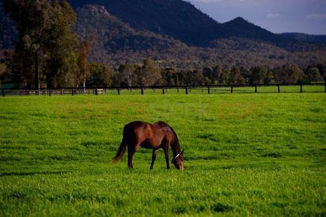 horse; horses; animal; animals; equine; equines; horse stud; horse studs; stud; studs; horse stud farm; horse stud farms; stud farm; stud farms;graze; grazes; grazing; horse grazing; horses grazing;eating grass; horse eating grass; horses eating grass; pasture; pastures; lush; lush pasture; lush pastures;paddock; paddocks; horse paddock; horse paddocks; horse in paddock; horses in paddock; horses in paddocks; horse in a paddock; horses in a paddock; farm paddock; farm paddocks; farming paddock; farming paddocks; field; fields; lush field; lush fields; horse yard; horse yards; yard; yards;farm animal; farm animals; farm; farms; farming; farming industry;australian farm; australian farms; australian farming; australian farming industry; farmland; farmlands; farm land; farm lands; farming property; farming properties;on farm; on the farm; horse on farm; horses on farm; horse on the farm; horses on the farm; animal on farm; animals on farm; animal on the farm; animals on the farm; at farm;at the farm; horse at farm; horses at farm; horse at the farm; horses at the farm; animal at farm; animals at farm; animal at the farm; animals at the farm; equestrian centre; equestrian centres;country; countryside; country setting; country settings; australian country; australian countryside; rural; rural area; rural areas; rural setting; rural settings; rural australia; regional; regional australia;livestock; live stock; stock; mammal; mammals; australian mammal; australian mammals;pet; pets; pet horse; pet horses; pet animal; pet animals; equine; equine flu; equine influenza; horse flu; animal photography; nature; green grass; green grasses; grass; grasses; lush green grass; lush green grasses; fence; fences; fenced; fenced paddock; fenced paddocks; fenceline; fencelines; fence line; fence lines; mountain; mountains; mountainous; mountain range; mountain ranges; agriculture; agricultural; agriculture industry; agricultural industry; australian agriculture industry; australian agric