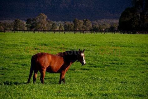 horse; horses; animal; animals; equine; equines; horse stud; horse studs; stud; studs; horse stud farm; horse stud farms; stud farm; stud farms;graze; grazes; grazing; horse grazing; horses grazing;pasture; pastures; lush; lush pasture; lush pastures;paddock; paddocks; horse paddock; horse paddocks; horse in paddock; horses in paddock; horses in paddocks; horse in a paddock; horses in a paddock; farm paddock; farm paddocks; farming paddock; farming paddocks; field; fields; lush field; lush fields; horse yard; horse yards; yard; yards;farm animal; farm animals; farm; farms; farming; farming industry;australian farm; australian farms; australian farming; australian farming industry; farmland; farmlands; farm land; farm lands; farming property; farming properties;on farm; on the farm; horse on farm; horses on farm; horse on the farm; horses on the farm; animal on farm; animals on farm; animal on the farm; animals on the farm; at farm;at the farm; horse at farm; horses at farm; horse at the farm; horses at the farm; animal at farm; animals at farm; animal at the farm; animals at the farm; equestrian centre; equestrian centres;country; countryside; country setting; country settings; australian country; australian countryside; rural; rural area; rural areas; rural setting; rural settings; rural australia; regional; regional australia;livestock; live stock; stock; mammal; mammals; australian mammal; australian mammals;pet; pets; pet horse; pet horses; pet animal; pet animals; equine; equine flu; equine influenza; horse flu; animal photography; nature; green grass; green grasses; grass; grasses; lush green grass; lush green grasses; fence; fences; fenced; fenced paddock; fenced paddocks; fenceline; fencelines; fence line; fence lines; mountain; mountains; mountainous; mountain range; mountain ranges; agriculture; agricultural; agriculture industry; agricultural industry; australian agriculture industry; australian agricultural industry; mane; manes; horse mane; horse manes;