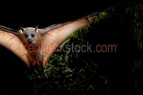 grey-headed flying fox; grey-headed flying foxes; grey headed flying fox; grey headed flying foxes; grey-headed fruit bat; grey-headed fruit bats; grey headed fruit bat; grey headed fruit bats; grey-headed bat; grey-headed bats; grey headed bat; grey headed bats; pteropus poliocephalus;flying fox; flying foxes; bat; bats;fruit bat; fruit bats; animal; animals; australian animal; australian animals;australian native animal; australian native animals; native animal; native animals; native; natives;native species; australian native species; fauna; australian fauna; australian native fauna;nocturnal; nocturnal animal; nocturnal animals; in flight; fly; flies; flying; flying overhead; flying over head; bat in flight; bats in flight; bat flying; bats flying; bat flying overhead; bats flying overhead; bat flying over head; bats flying over head;fruit bat in flight; fruit bats in flight; fruit bat flying; fruit bats flying; fruit bat flying overhead; fruit bats flying overhead; fruit bat flying over head; fruit bats flying over head;flying fox in flight; flying foxes in flight; flying fox flying; flying foxes flying; flying fox flying overhead; flying foxes flying overhead; flying fox flying over head; flying foxes flying over head;flying in the sky; flying in sky; bat flying in the sky; bats flying in the sky; bat flying in sky; bats flying in sky; fruit bat flying in the sky; fruit bats flying in the sky; fruit bat flying in sky; fruit bats flying in sky; flying fox flying in the sky; flying foxes flying in the sky; flying fox flying in sky; flying foxes flying in sky; rainforest; rainforests; rain forest; rain forests; forest; forests; tropical rainforest; tropical rainforests; tropical rain forest; tropical rain forests; tropical forest; tropical forests; tropical; tropic; tropics;wild bat; wild bats; wild fruit bat; wild fruit bats; wild flying fox; wild flying foxes; wild animal; wild animals; wild; in the wild; bat in the wild; bats in the wild; fruit bat in the wild