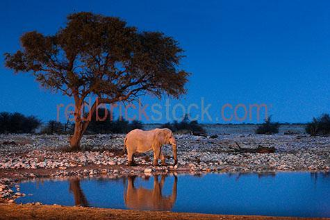 elephant; elephants; animal; animals; african elephant; african elephants; african animal; african animals; africa; african; nambia; okaukuejo; halali; etosha national park; national park; national parks; protected area; protected areas; conservation; conservations; african wildlife; african wild life; safari; safaris; african safari; african safaris; trunk; trunks; elephant trunk; elephant trunks; tusk; tusks; elephant tusk; elephant tusks; endangered animal; endangered animals; endangered species; threatened animal; threatened animals; threatened specials; wild elephant; wild elephants; wild animal; wild animals; wild; in the wild; elephant in the wild; elephants in the wild; animal in the wild; animals in the wild; wrinkle; wrinkles; wrinkly; wrinkly skin;  age; aged; old age; mature; wisdom; large animal; large animals; terrestrial; terrestrial animal; terrestrial animals; terrestrial mammal; terrestrial mammals; mammal; mammals; waterhole; waterholes; water hole; water holes; elephant at waterhole; elephants at waterhole; elephant at water hole; elephant at water holes; elephant portrait; elephant portraits; animal portrait; animal portraits; elephantidae; elephas maximus sumatrensis; wildlife; wild life; wildlife photography; wild life photography; nature; natural habitat; natural habitats; animal photography; reflection; reflections; water reflection; water reflections; tourist attraction; tourist attractions; african tourist attraction; african tourist attractions; tourist destination; tourist destinations; african tourist destination; african tourist destinations; tourism; tourism africa; african tourism; travel; travels; traveling; overseas travel; over seas travel; overseas; over seas; holiday; holidays; vacation; vacations; trip; trips; overseas holiday; overseas holidays; over seas holiday; over seas holidays; overseas vacation; overseas vacations; over seas vacation; over seas vacations; overseas trip; overseas trips; over seas trip; over seas trips; sky; skies; blue sky; blue skies; clear sky; clear skies; clear blue sky; clear blue skies; against blue sky; against clear blue sky; against clear sky; night; night time; evening; at night; at night time; in the evening; dark; darkness; night sky; night skies; against night sky; side; sides; side view; side views; side angle; side angles; profile; profiles; side profile; side profiles; side on; tree; trees; rock; rocks; landscape; landscapes; african landscape; african landscapes; rights managed; rm; rights managed image; rights managed images; rm image; rm images; copyspace; copy space; textspace; text space; at; on; in; and; &; +;