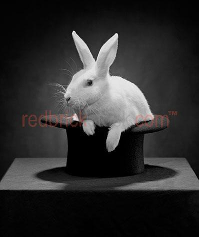 rabbit; rabbits; bunny; bunnies; animal; animals; white rabbit; white rabbits; white bunny; white bunnies; fluffy rabbit; fluffy rabbits; fluffy bunny; fluffy bunnies; fluffy white rabbit; fluffy white rabbits; fluffy white bunny; fluffy white bunnies; hat; hats; top hat; top hats; tophat; tophats; black hat; black hats; black top hat; black top hats; black tophat; black tophats; magic; magical; magic trick; magic tricks; magical trick; magical tricks; trick; tricks; rabbit magic trick; rabbit magic tricks; rabbit magical trick; rabbit magical tricks; rabbit trick; rabbit tricks; magic illusion; magic illusions; magical illusion; magical illusions; illusion; illusions; magician; magicians; illusionist; illusionists; pet; pets; pet animal; pet animals; family pet; family pets; family pet animal; family pet animals; rabbit ear; rabbit ears; bunny ear; bunny ears; ear; ears; whisker; whiskers; rabbit whisker; rabbit whiskers; bunny whisker; bunny whiskers; easter; easter time; easter bunny; easter bunnies; rabbit portrait; rabbit portraits; animal portrait; animal portraits; pet portrait; pet portraits; animal photography; pet photography; leporidae; paw; paws; rabbit paw; rabbit paws; bunny paw; bunny paws; australian animal; australian animals; australia; australian; aus; mammal; mammals; australian mammal; australian mammals; shadow; shadows; black and white; black & white; black + white; b&w; b & w; b+w; b + w; monochrome; mono; rabbit in a hat; rabbit in hat; rabbit in hats; dark; eye; eyes; rabbit eye; rabbit eyes; bunny eye; bunny eyes; animal eye; animal eyes; royalty free; rf; royalty free image; royalty free images; rf image; rf images; close-up; close-ups; close up; close ups; closeup; closeups; close-up view; close-up views; closeup view; closeup views; close-up views; close-up views; close up views; closeup views; copyspace; copy space; textspace; text space; at; on; in; and; &; +;