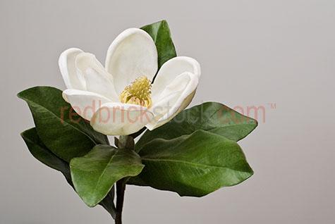 white magnolia;magnolias;flower;flowers;bloom;flower on grey background;leaf;leaves