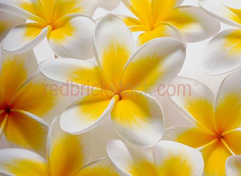 frangipani;frangipanis;frangipani's;flower;flowers;tropical flower;tropical flowers;yellow frangipani's;yellow frangipanis;yellow frangipani;health;beauty;care;pamper;health spa;treatment