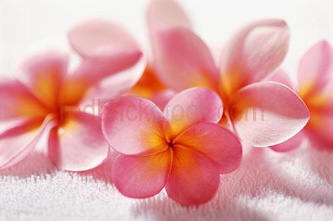frangipani;frangipanis;frangipani's;frangipani's on towel;frangipanis on towel;flower;flowers;tropical flower;tropical flowers;pink frangipani's;pink frangipanis;pink frangipani;health;beauty;care;pamper;health spa;treatment