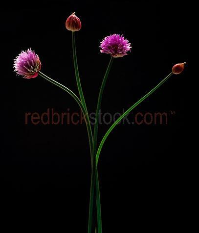 chive;chives;flower;flowers;bud;buds;blossom;blossoms;flavour;flavor;flavours;flavors;flavouring;flavoring;herb;herbs;onion;onions;green;raw;uncooked;whole;stem;stems;whole;uncut;unsliced;leaf;leaves;seasoning;seasonings;garnish;garnishes;still life;still lifes;black background;black background;on black;cut out;cut outs;cut-out;cut-outs