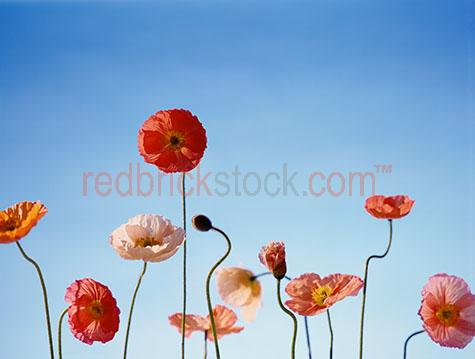 poppies poppy flower flowers tall blue sky bloom blooms bud buds