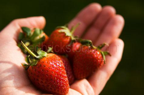 strawberries;strawberry;straw berry;straw berries;berry;berries;fruit;fruits;red fruit;food;red food;ripe;juicy;tasty;sweet;sweetsdiet;diets;natural;healthy;health food;healthy eating;snack;snacks;hand;hands;handful;hands full;hand full;handfull;hold;holding;held;fingers;pick;picked;picking;fresh;freshly;freshly picked;harvest;harvested;closeup;close-up;close up;closeups;close-ups;close ups