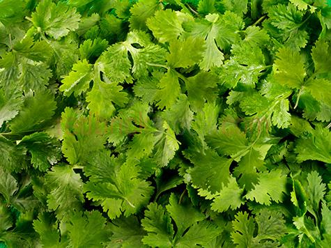 herb;herbs;coriander;leaf;leaves;green;greens;colour green;color green;cilantro;flavour;flavor;favlours;flavors;flavouring;flavoring;fresh;freshness;bunch;bunches;ingredient;ingredients;garnish;garnishes;herbal;background;backgrounds
