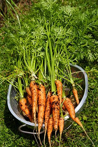 ingredient;ingredients;raw;fresh;uncooked;produce;leaf;leaves;leafy;still life;still lifes;vegetable;vegetables;veggie;veggies;veg;whole;uncut;unsliced;bunch;carrots;carrot;root vegetable;root vegetables;root;roots;colander;colanders;strainer;strainers;produce;home grown;homegrown;freshly picked;soil;soils;dirt;dirts