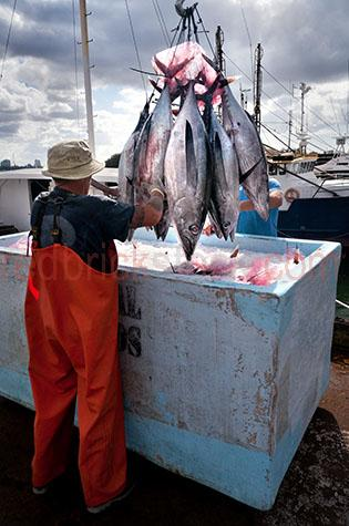 fish;fishes;fished;fishing;fishery;fisheries;fisheries industry;fishing industry;commercial fishing;seafood;sea food;fisherman;fishermen;fresh;freshly caught;work;works;working;worker;workers;at work;australia;australian;aus;gold coast;queensland;qld;freshly fished;fresh fish;fresh seafood;fresh sea food;fresh food;saltwater fish;salt water fish;fresh saltwater fish;fresh salt water fish;food;foods;copyspace;copy space;textspace;text space;person;people;australian person;australian people;male;males;man;men;guy;guys;australian;man;australian men;australian guy;australian guys;overfishing;over fishing;over-fishing;environment;environmental;environmental issue;environmental issues;hat;hats;coast;coasts;coastal;coastal living;coastal lifestyle;catching fish;caught fish;tuna;tuna fish;tuna fishes;dead;dead fish;dead fishes;dead animal;dead animals;overallls;hook;hooks;fish hook;fish hooks;fishing hook;fishing hooks;hang;hangs;hanging;fish hanging from hook;blood