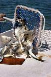 80001016RF.jpg Emptying a fishing net, Moreton Bay QLD Australia Emptying a fishing net