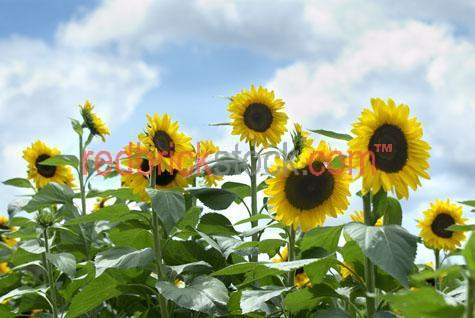 sun flower flowers yellow bloom blooms rural seed seeds agricult