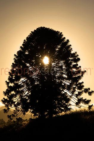 bunya pine;bunya pines;araucaria bidwillii;evergreen coniferous;evergreens;sunrise;sunrises;sun rise;sun rises;sunset;sunsets;sun set;sun sets;tree;trees;large tree;large trees;big tree;big trees;silhouette;silhouettes;silhouetted;native;natives;australia;australian;aus;south east queensland;se qld;south-east queensland;country;rural;branch;branches;sunburst;sun burst;early morning;yellow;yellows;colour yellow;color yellow