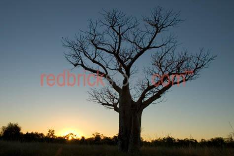 boboa tree trees bottle sunrise sun rise outback australia quens