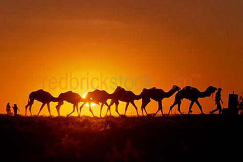 camel camels silhouette orange sunset outback broome northern te