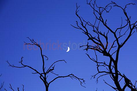 moon;moons;crescent moon;crescent moons;dead trees;dead tree;branch;branches;bare tree;bare trees;crooked;silhouette;twisted;silhouettes;silhouetted;blue;bues;colour blue;color blue;blue sky;blue skies;clear sky;clear skies;outback;rural;australia;australian;spooky;creepy;eerie