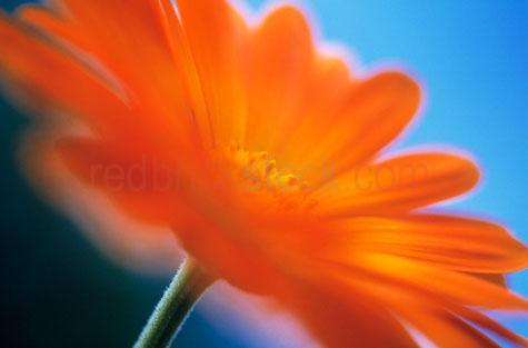 calendula;calendula officinalis;marigold;pot marigold;marigolds;pot marigolds;herbaceous;herbaceous plant;herbaceous plants;edible;edible plants;edible plant;edible flower;edible flowers;garnish;garnishes;decorative;decoration;perennial plant;perennial plants;flower;flowers;flowering;petal;flower petal;flower petals;petals;edible flower petals;edible flower petal;orange flower;orange flowers;orange flower;orange flowers;garden;gardens;medicinal;medicinal plants;medicinal plant;herbal remedy;herbal remedies;naturopathy;naturopath;closeup;close up;close-up;closeups;close ups;close-ups;selective focus;vibrant